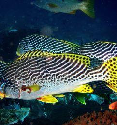 haemulidae wikip dia diagramma pictum fishbase [ 1200 x 900 Pixel ]