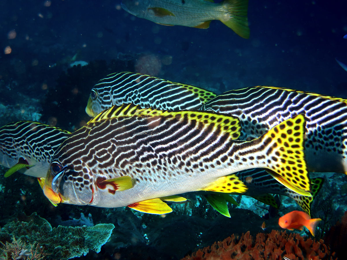 hight resolution of haemulidae wikip dia diagramma pictum fishbase