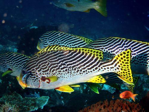 small resolution of haemulidae wikip dia diagramma pictum fishbase