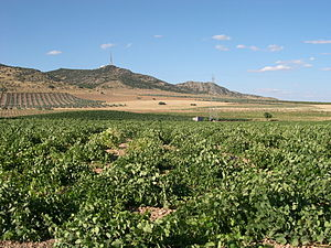 Vineyard in Ciudad Real.