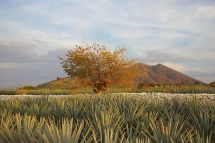 Industrial Landscape Agave and Ancient Facilities of Tequila
