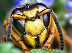 Face of a Southern Yellowjacket