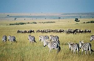 Gnus and zebras in the Maasai Mara park reserv...