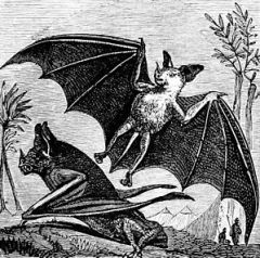 "Vampire bat of South America"" title="