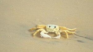 English: A crab. Português: Um siri.