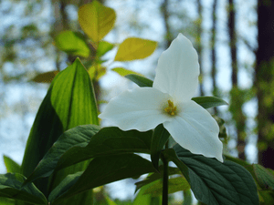 A white trillium macro taken at Valens Conserv...
