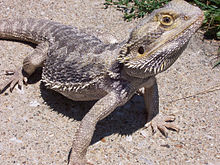 animal care bearded dragon wikibooks