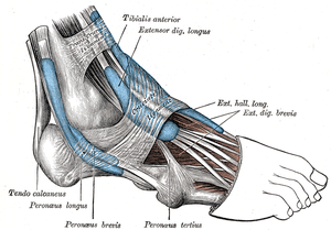 Tibialis anterior muscle labeled at top center...