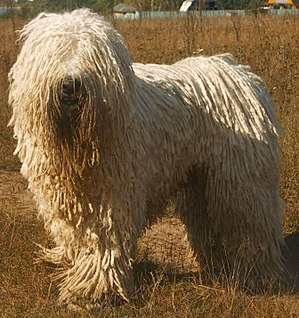 English: Komondor