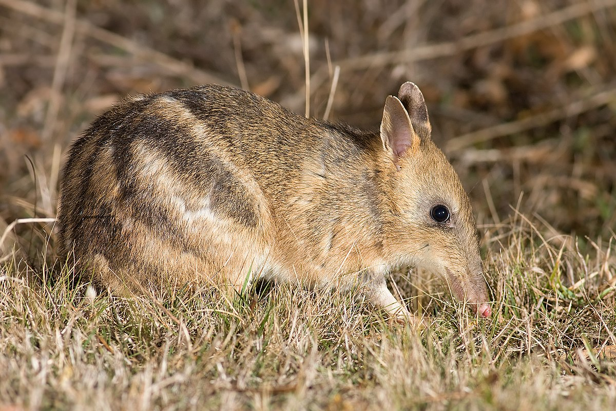 Australian Animals Bilby