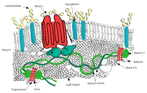 small resolution of red blod cell diagram