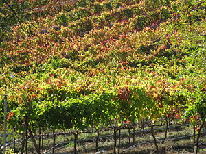 Vineyards in the California wine region of the...