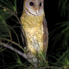 Barn Owl Diagram Home Theater System Wiring Scientific Name For Bbc Nature Videos