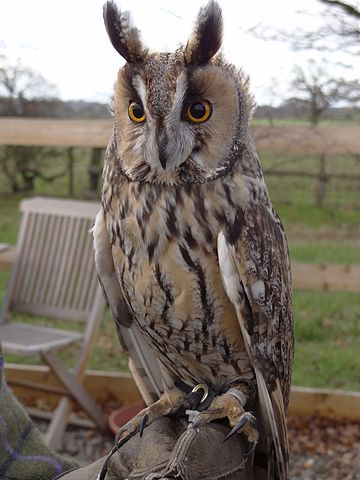 A Long-eared Owl at Battlefield Falconry Centre, Shrewsbury, Shropshire, England. By Angus Leonard