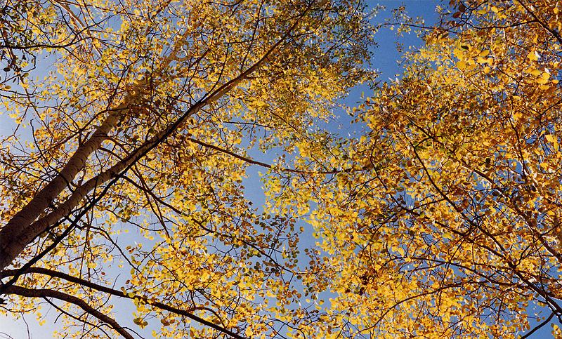 Aspens set against a blue sky.