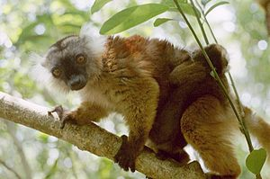 English: A photo of a female black lemur and h...