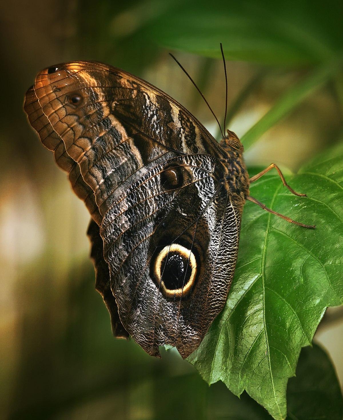 Caligo eurilochus  Wikipedia