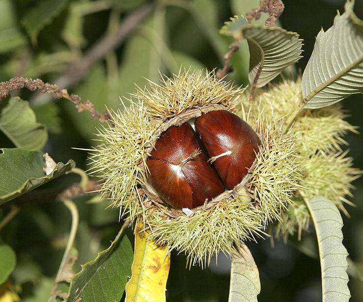 File:Chestnut02.jpg