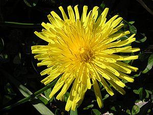 English: Dandelion flower (Taraxacum officinal...