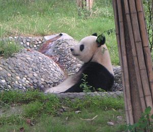 English: A Giant Panda at Chengdu Research Bas...