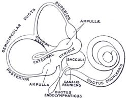 Membranous labyrinth  Wikipedia