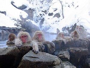 English: Japanese Macaques (Macaca fuscata). J...