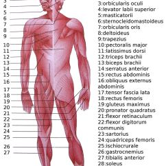 Muscle Diagram Dorsal How Do You Stem And Leaf Diagrams List Of Skeletal Muscles The Human Body Wikipedia