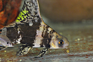 Wimpelkarpfen oder auch Fledermausfisch - begu...