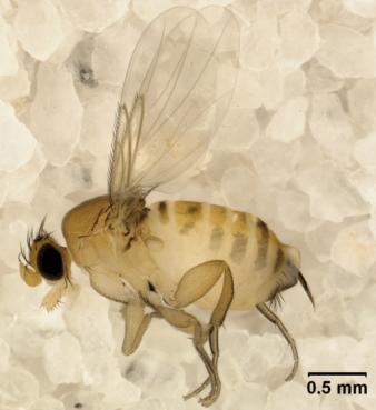 Adult female Apocephalus borealis,Buckelfliege
