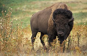 "English: Bison bison. Original caption: ""..."