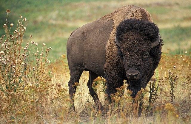 https://i0.wp.com/upload.wikimedia.org/wikipedia/commons/thumb/8/8d/American_bison_k5680-1.jpg/640px-American_bison_k5680-1.jpg