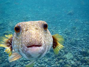 English: A Puffer Fish,Arothron hispidus is ki...