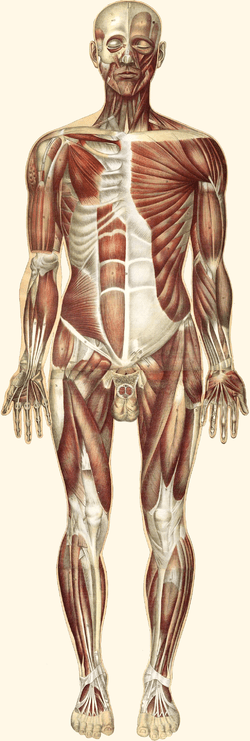 major muscle diagram to label mercruiser firing order muscular system wikipedia