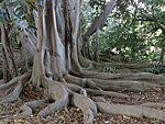 Buttress roots.JPG