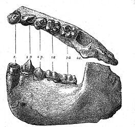 Kaak van een dryopithecus