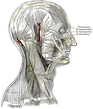 The nerves of the scalp, face, and side of neck.