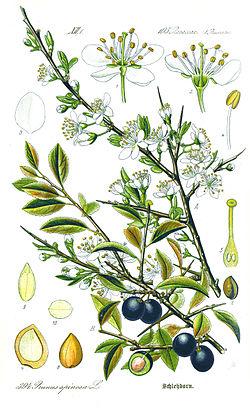 Illustration Prunus spinosa1.jpg