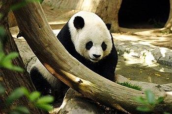 Panda Gao Gao in San Diego Zoo, USA