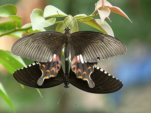 Papilio polytes mating in Kadavoor