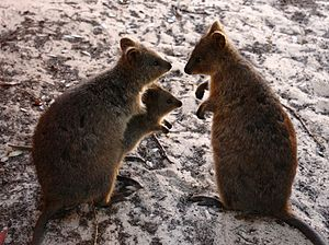 Three quokkas—two adults and a juvenile, presu...