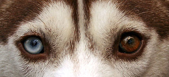 English: A brown Siberian Husky exhibiting het...