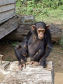 This Cameroonian chimpanzee was brought to a rescue centre after its mother was killed by poachers.