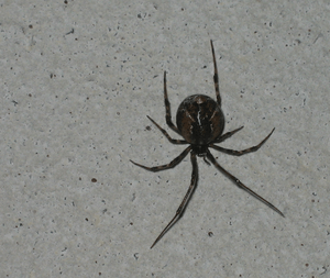 s. Bipunctata (Common False Widow)