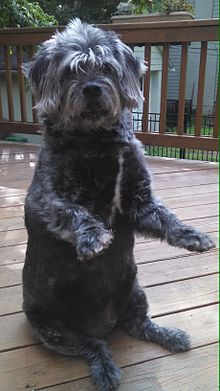 Glen of Imaal Terrier  Wikipedia