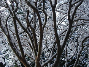 Lagerstroemia indica (Crepe myrtle) offers win...