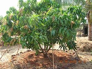English: Alphonso mango tree in a dense cultiv...