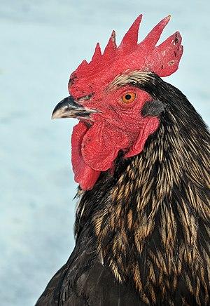 Rooster Black Bovan
