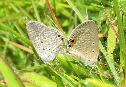 Euchrysops cnejus Fabricius, 1798 – Gram Blue mating at Madayippara (2)