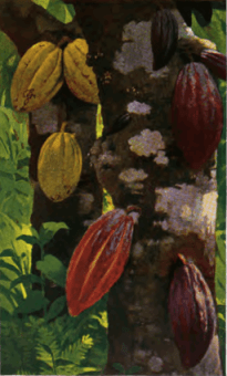 Fotg cocoa d055 cacao pods