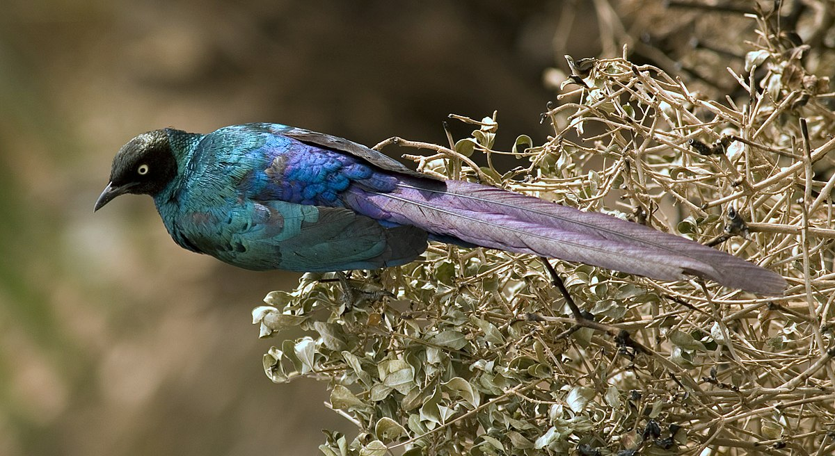 Longtailed glossy starling  Wikipedia